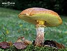 Hřibovité houby