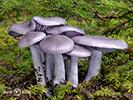 Lupenaté houby
