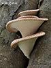 Nelupenaté houby