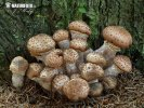 Ostatní rody lupenatých hub